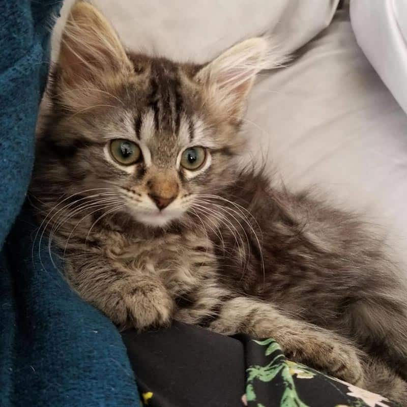 kitten-samantha-adoptable