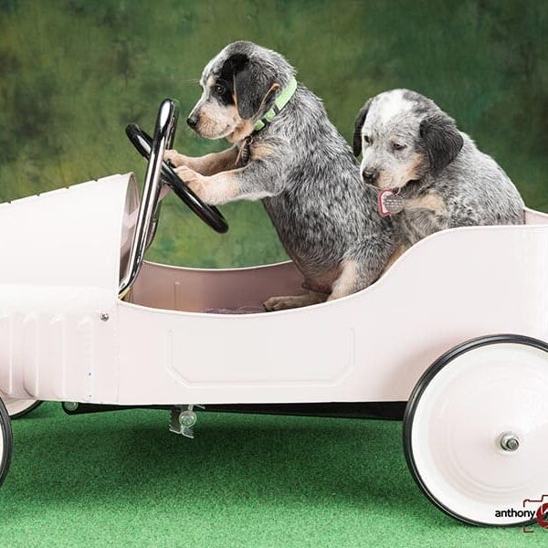 Puppies in a toy car